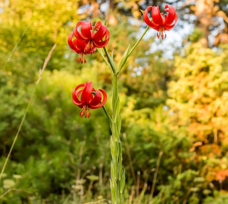 Lilium calchedonicum_V.Triantafyllou